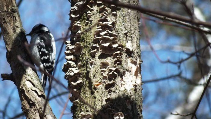 downy woodpecker sits on tree near black-capped chickadee tree - thickson woods