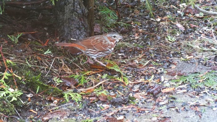 fox sparrow - red form - hunts for seed - oxtongue lake - ontario