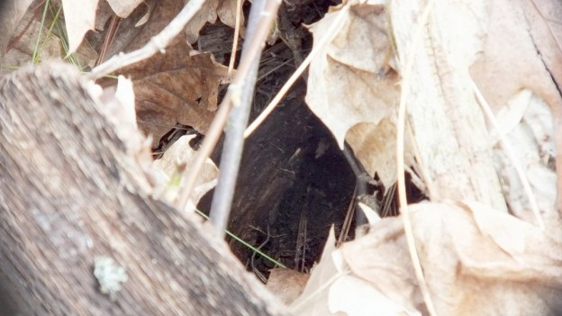 garter snake entrance to its hole - thicksons woods - whitby