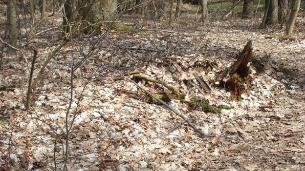 garter snake nest in rotten tree trunk - thicksons woods - whitby