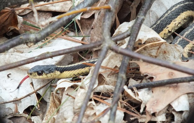 garter snake shows its complete red tongue - thicksons woods - whitby