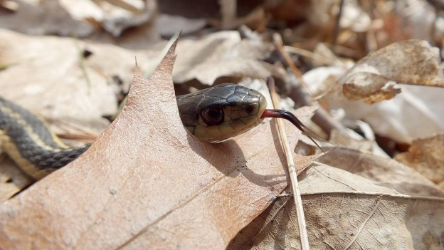 garter snake sticks out its tongue from behind oak leaf - thicksons woods - whitby