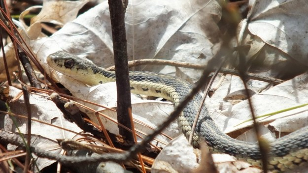 garter snake stops among leaves - thicksons woods - whitby