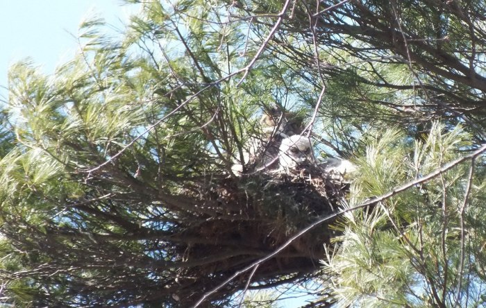 great horned owl chick and mother