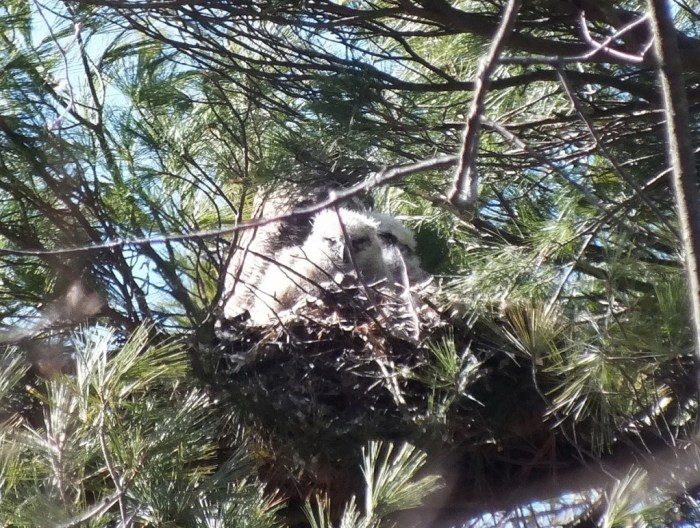 great horned owl chicks and mother in nest -- - thicksons woods - whitby - ontario