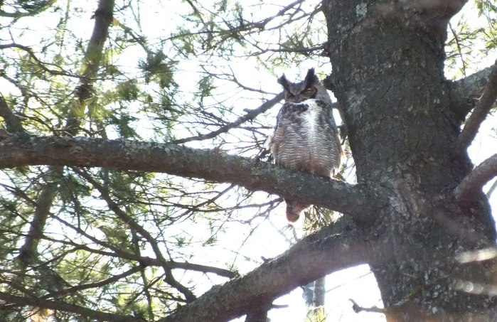 great horned owl - male in tree --- thicksons woods