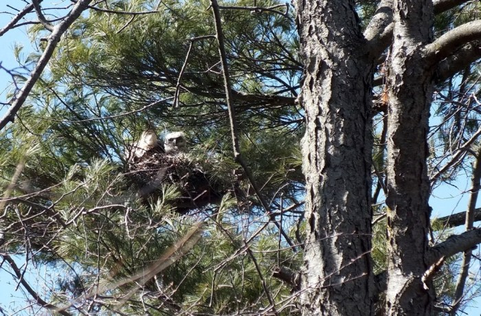 great horned owl nest with young chick looking down - thicksons woods
