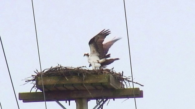 osprey lifts wings over top of partner in nest - Youngs Point - Ontario - Canada