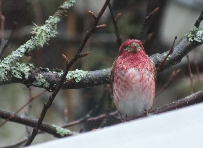 purple finch - looks my way - oxtongue lake - ontario