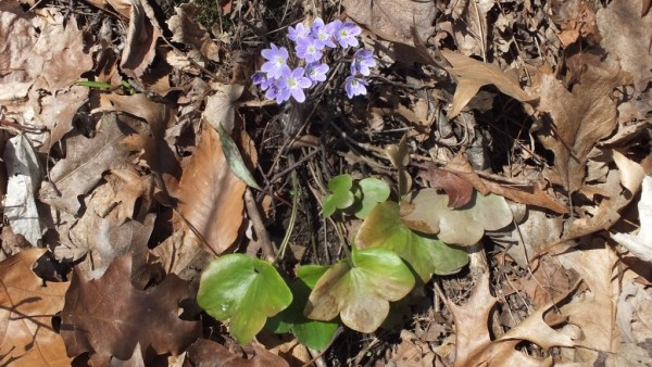 round-lobed Hepatica and Leaves, Cootes Paradise, Burlington