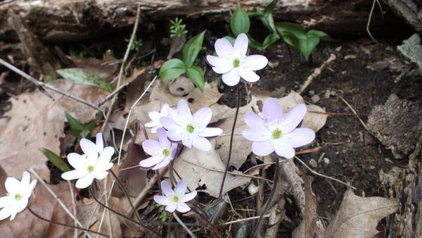 sharp-lobed Hepatica, White, Cootes Paradise, Burlington
