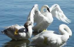 three trumpeter swans in Hamilton Harbour