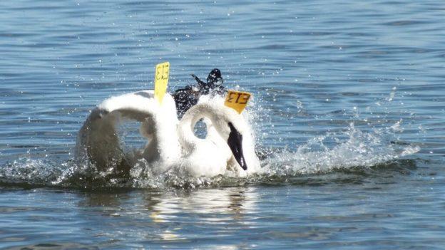 trumpeter swan drags wings through water