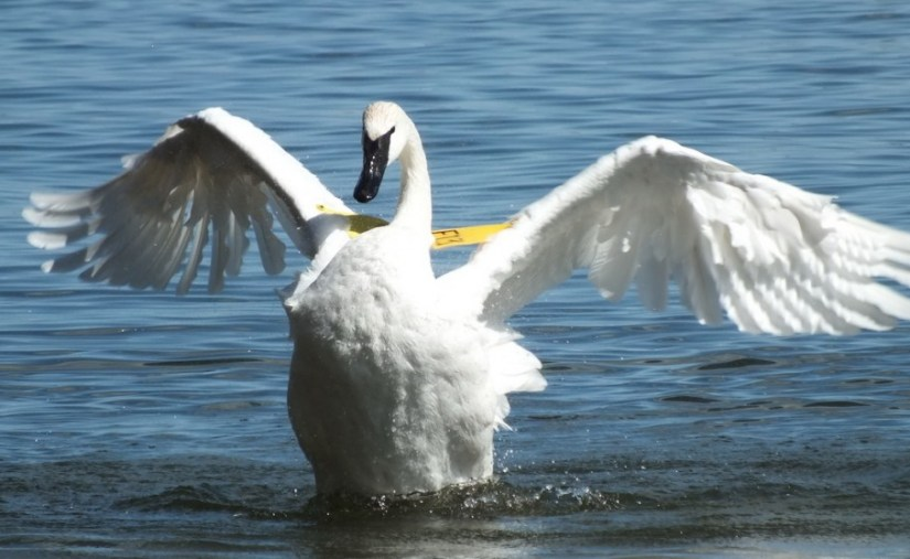 trumpeter swan holds wings out proudly