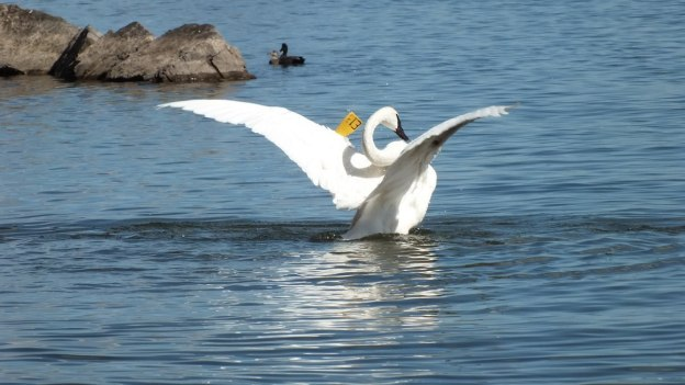 trumpeter swan in Hamilton Harbour holds wings up