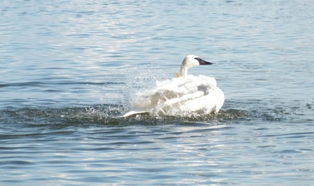 trumpeter swans shakes its wings in water at la salle park