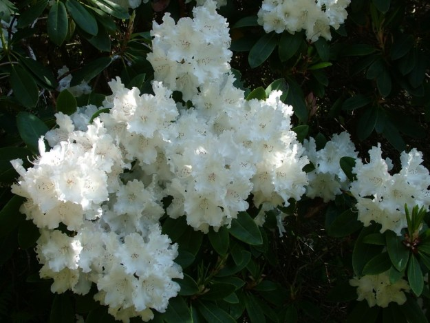 white rhododendron flowers at powerscourt - wicklow - ireland