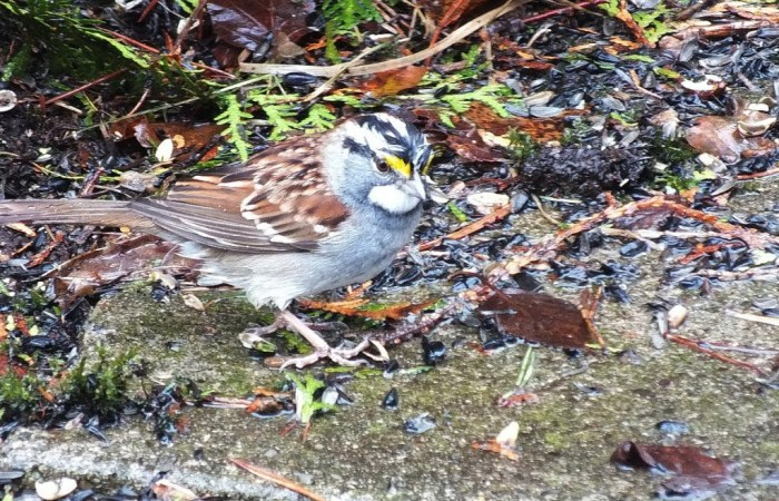 white throated sparrow - male - oxtongue lake - ontario