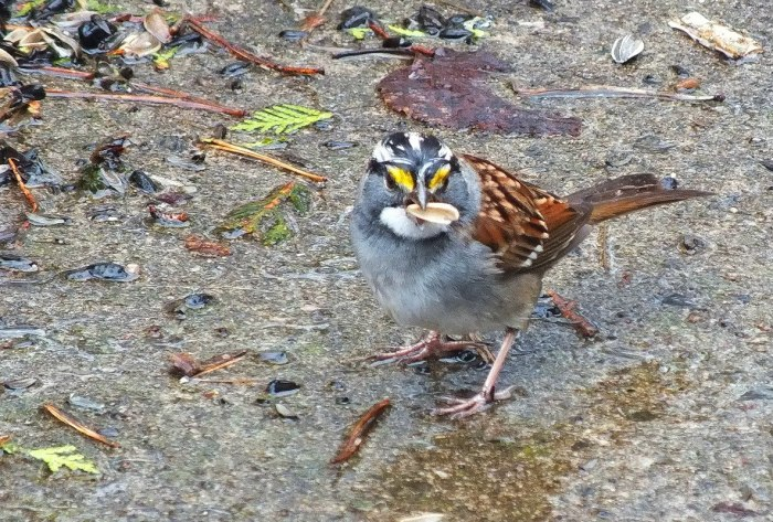 white throated sparrow - male - with a seed in its peak - oxtongue lake - ontario