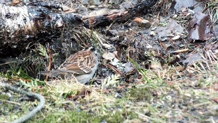 white throated sparrow - view of back on grass - oxtongue lake - ontario