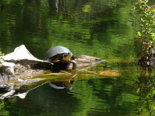 Blanding's turtle - frontenac provincial park - ontario - canada