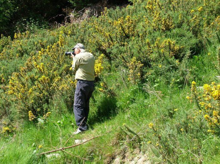 Bob films Gorse growing near hiking trail - Lackandarragh Lower - Wicklow - Ireland