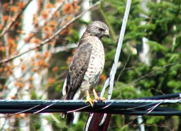 Broad-winged hawk on a powerline near Dorset in Ontario, Canada.