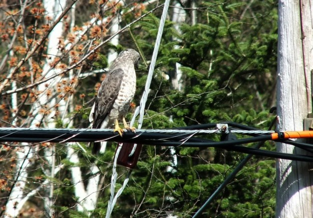 Broad-winged hawk sitting on a powerline near Dorset in Ontario, Canada.