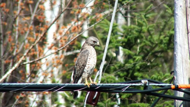 Broad-winged hawk near Dorset in Ontario, Canada.