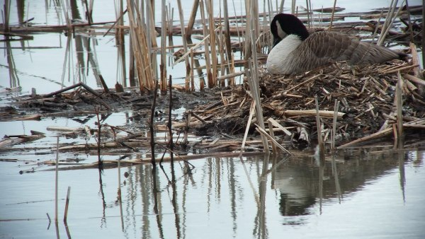 Canada Goose on nest - Cranberry Marsh - Lynde Shores Conservation Area