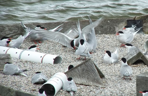 Common Tern - fight for a fish on reef raft - tommy thompson park - toronto