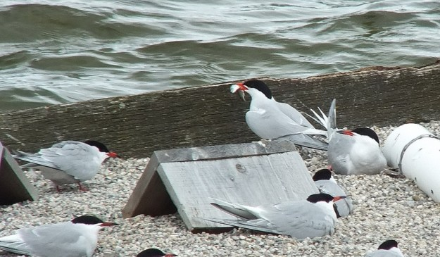 Common Tern - holds a fish in its peak on reef raft - tommy thompson park - toronto