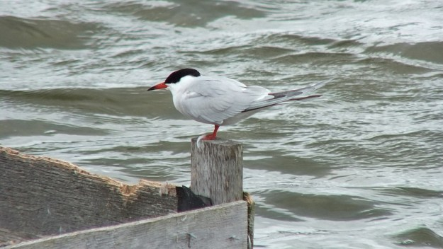 Common Tern - on reef raft corner post - tommy thompson park - toronto