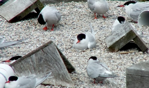 Common Tern - relaxing on reef raft - tommy thompson park - toronto