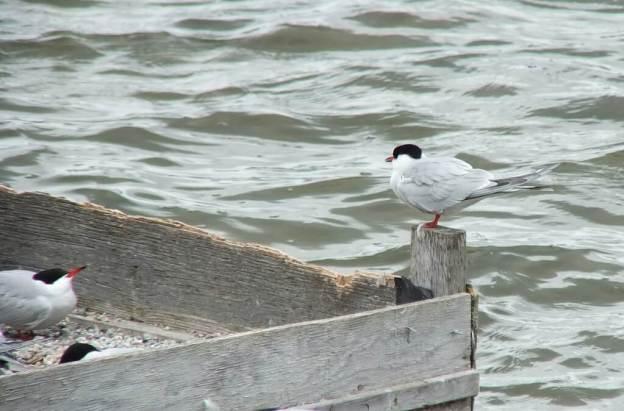 Common Tern - sits on reef raft corner post - tommy thompson park - toronto