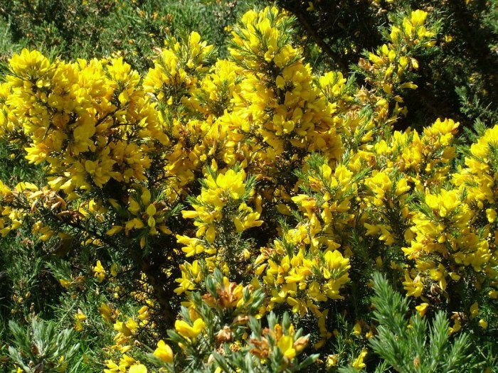 Gorse growing near Lackandarragh Lower - Wicklow - Ireland