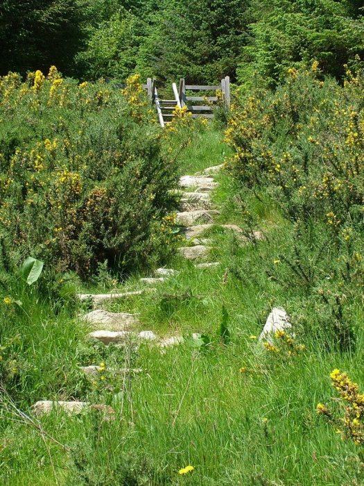 Gorse growing near hiking trail - Lackandarragh Lower - Wicklow - Ireland