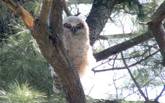 Great Horned Owl - baby 1 closes its eyes - Thicksons Woods - Whitby - Ontario