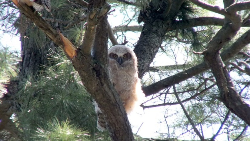 Great Horned Owlet, Thicksons Woods, Whitby, Ontario