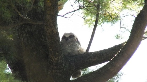 Great Horned Owl - baby 2 looks at me - Thicksons Woods - Whitby - Ontario