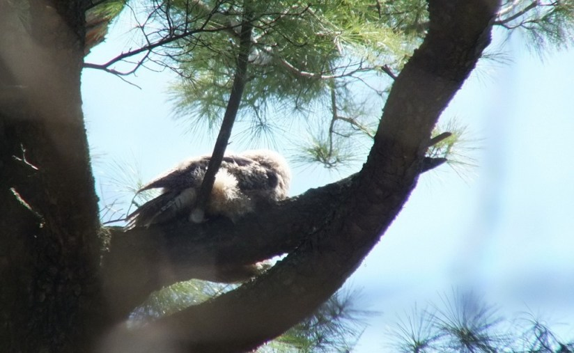 Great Horned Owl - baby sleeps on tree limb - Thicksons Woods - Whitby - Ontario