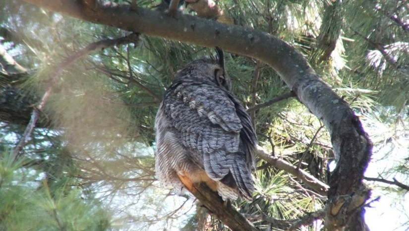 Great Horned Owl, Thickson's Woods, Whitby, Ontario