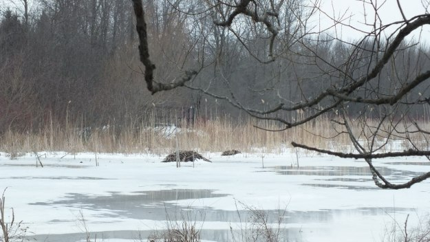 Muskrat mounds - - West Cranberry Tract - Whitby - Ontario