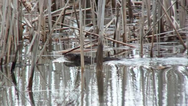 Muskrat - swims through marsh - Cranberry Marsh - Lynde Shores Conservation Area