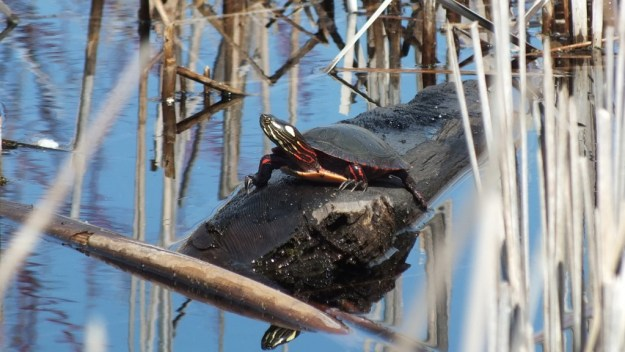 Painted Turtle sits on log in muskrat pond --- Mississauga - Ontario