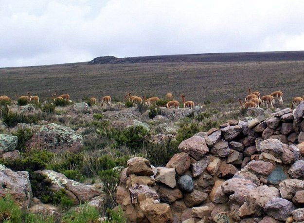 Vicuna herd behind stone wall on Highway 26, Peru