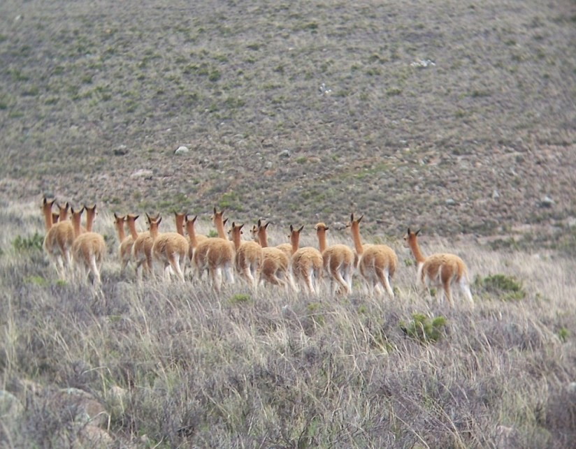 Vicuna herd moves off, Peru