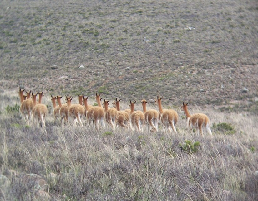 Vicuna in a meadow at the National Reserve of Pampas Galeras in Peru, South America.
