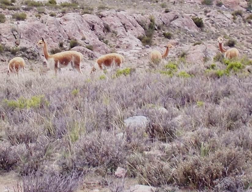 Vicuna in a field at the National Reserve of Pampas Galeras in Peru, South America.