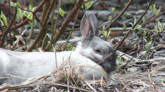 White and grey rabbit at Milliken Park - Toronto - Ontario